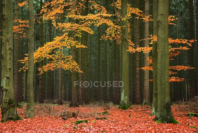 Beech trees in conifer forest, Germany, Europe — стоковое фото