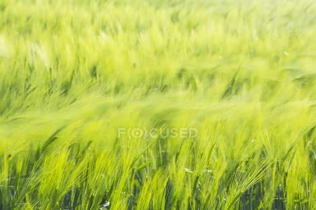 Wind moving barley ears on green field — стоковое фото