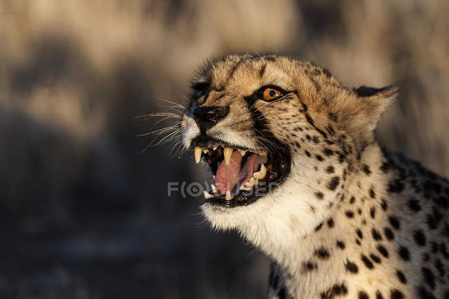 Portrait of aggressive cheetah hissing near Keetmanshoop, Namibia, Africa — Stock Photo