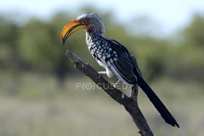 Southern yellow-billed hornbill on branch in Etosha National Park, Namibia, Africa — стокове фото