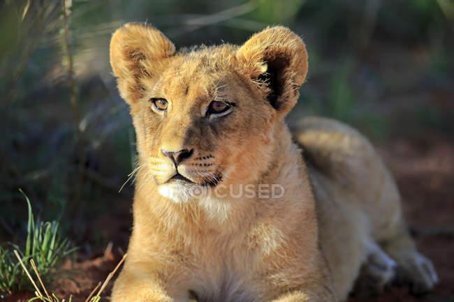 Lion cub lying in Tswalu Game Reserve, Kalahari Desert, Africa — Stock Photo