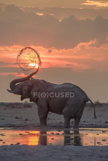 African elephant taking mud bath at sunset at waterhole, Nxai Pan National Park, Botswana, Africa — Stock Photo