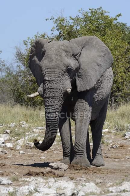 Loxodonta africana a piedi nel Parco nazionale di Etosha, Namibia, Africa — Foto stock