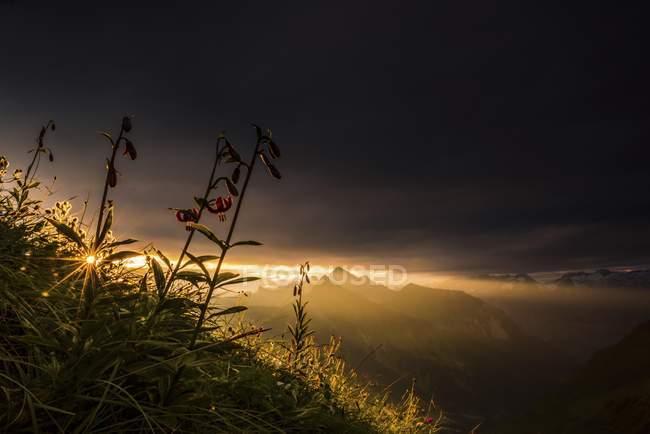 Martagon lilies growing on mountainside under dark clouds at sunrise, Allgau Alps, Bregenz Forest, Vorarlberg, Austria, Europe — Stock Photo