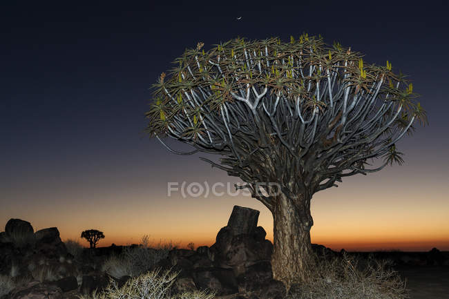 Quiver tree in night in Quiver Tree Forest in Garaspark in Keetmanshoop, Namibia, Africa — Stock Photo