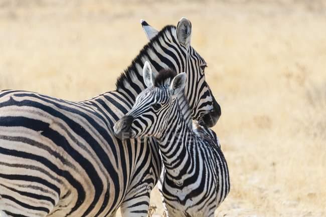 Zebra delle pianure con vitello nel Parco nazionale di Etosha, Namibia, Africa — Foto stock