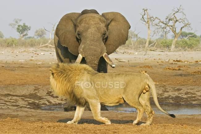 Leão com elefante africano no poço em Savuti, Parque Nacional de Chobe, Botswana, África — Fotografia de Stock