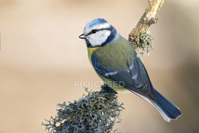 Blue tit sitting on lichen-covered branch — Stockfoto