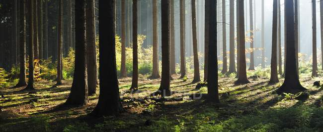 Spruce forest in autumn with backlight rays of sunshine in fog, Mansfeld-Sudharz, Saxony-Anhalt, Germany, Europe — Stock Photo