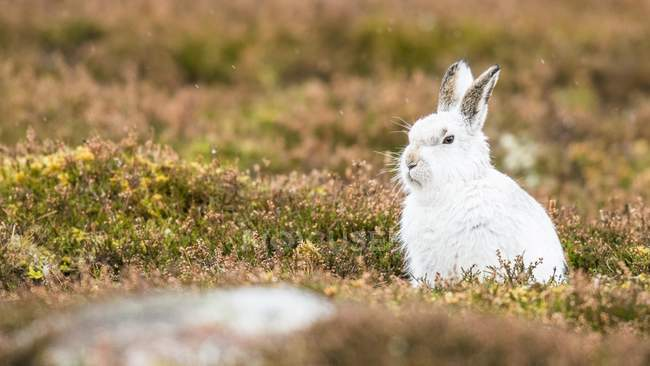 Заяц-беляк в зимнее пальто, сидя в луговой — стоковое фото