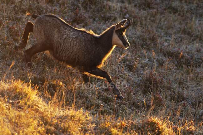 Chamois goat in winter coat jumping in Vosges Mountains of France, Europe — Stock Photo