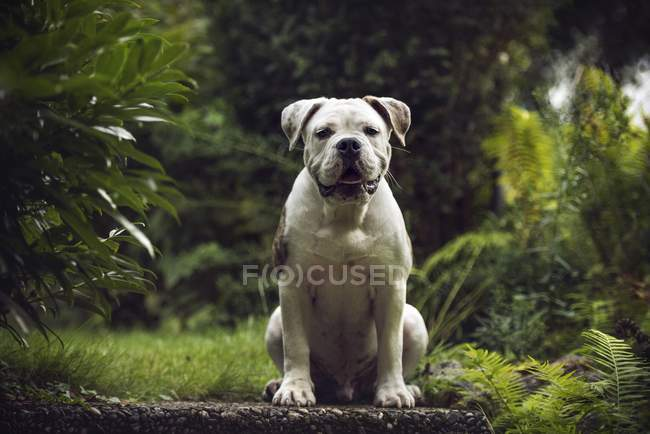 Bulldog sitting and looking in camera in forest — Stock Photo