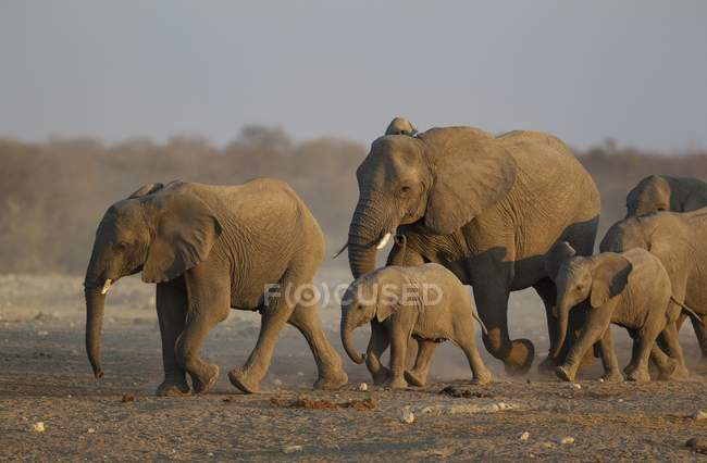 African elephant breeding herd rushing towards waterhole in evening, Etosha National Park, Namibia — стокове фото