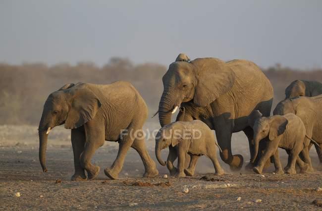Elefante africano allevamento allevamento correndo verso waterhole sera, Parco nazionale di Etosha, Namibia — Foto stock