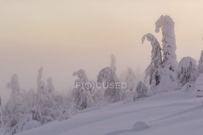 Snowy trees in winter landscape, Pyha-Luosto National Park, Lapland, Finland, Europe — Stock Photo