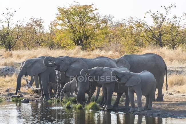 Manada de elefantes africanos bebendo no Nuamses waterhole, Parque Nacional de Etosha, Namíbia, África — Fotografia de Stock