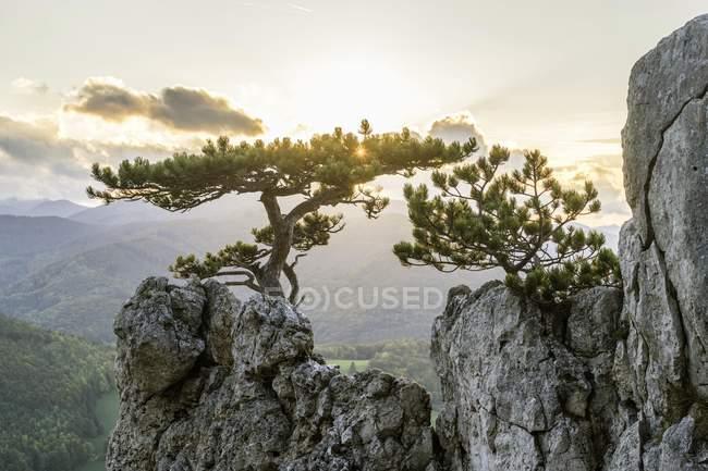 Pins noirs européens sur les rochers dans la lumière du soir, Peilstein, Schwarzensee, Basse-Autriche, Autriche, Europe — Photo de stock