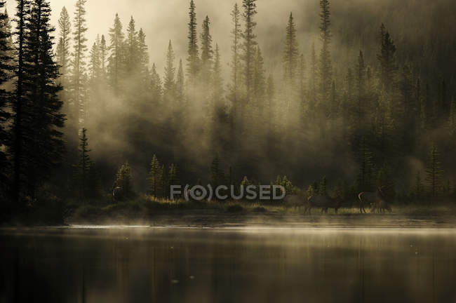 Elks on shore of misty Bow River, Banff National Park, Alberta, Canada — стоковое фото