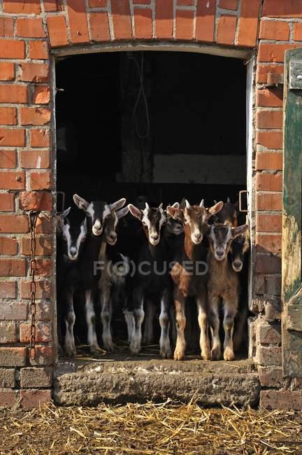 Goatlings guardando fuori portello di granaio in azienda agricola biologica — Foto stock