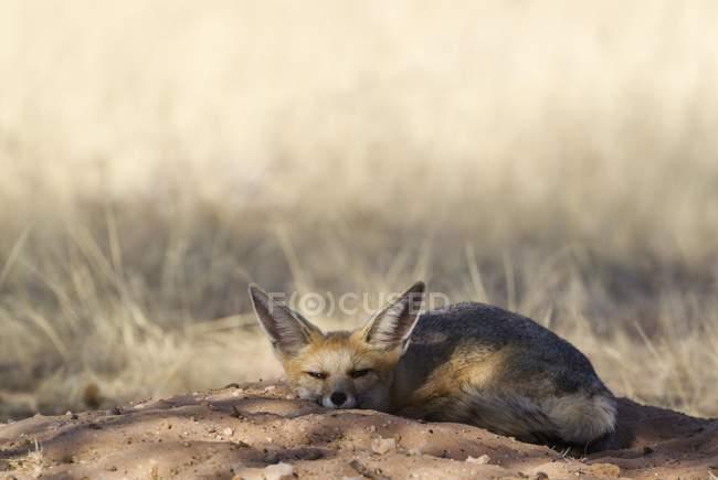 Cape fox resting at burrow, Kalahari Desert, Botswana, Africa — стоковое фото