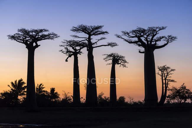 Baobab trees at Avenue of Baobabs at dusk, Morondava, Madagascar, Africa — Stock Photo