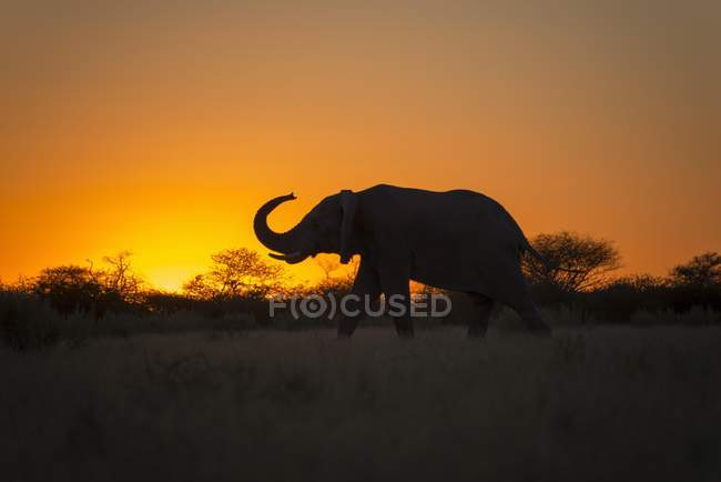 African elephant silhouette with raised trunk at sunset, Nxai Pan National Park, Botswana, Africa — Stockfoto