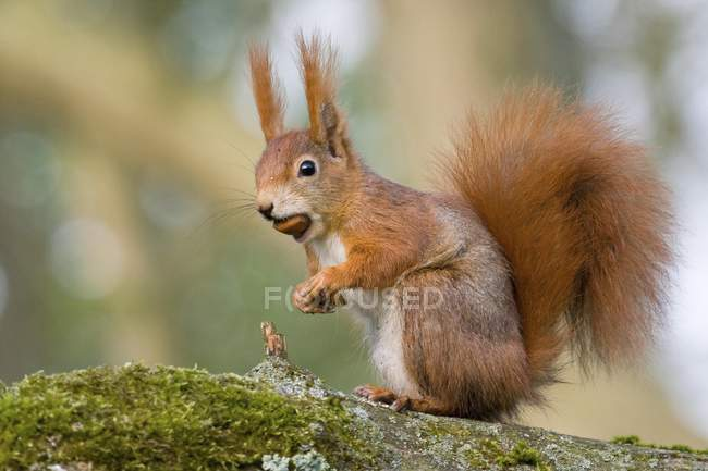 Eurasian red squirrel sitting with hazelnut in mouth — стоковое фото