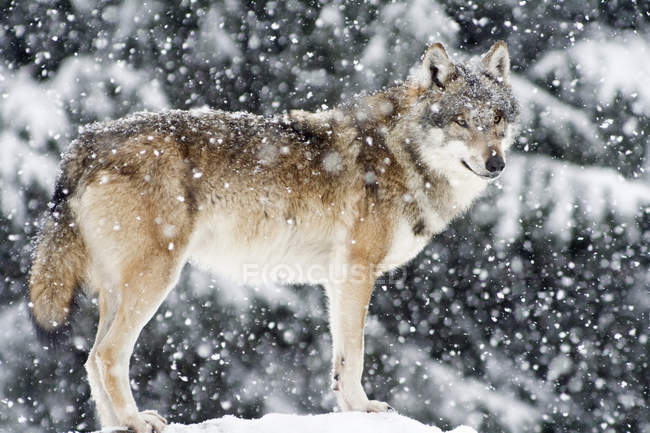 Standing wolf in falling snow in woodland, side view — стоковое фото