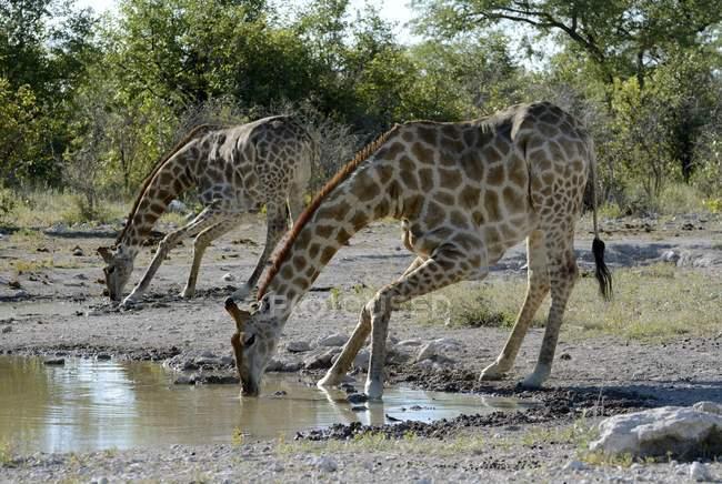 Giraffe che beve al waterhole, Parco nazionale di Etosha, Namibia, Africa — Foto stock
