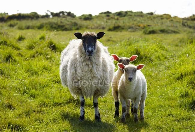 Pecora in piedi di pecora sul pascolo con gli agnelli a Devon, Inghilterra — Foto stock