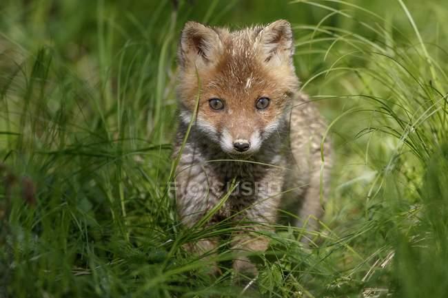 Filhote de raposa vermelha, esgueirando-se por grama de Prado — Fotografia de Stock