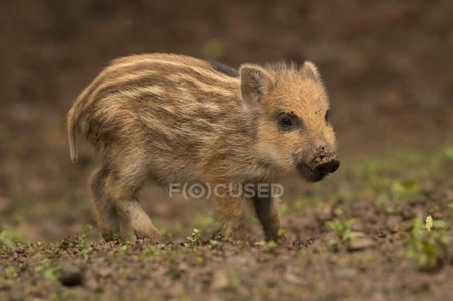 Leitão de javali no chão da floresta — Fotografia de Stock