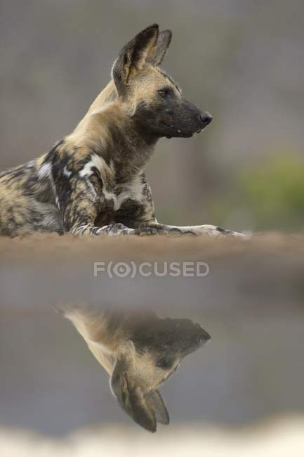 African wild dog reflection in waterhole, Zimanga Game Reserve, Africa — стоковое фото