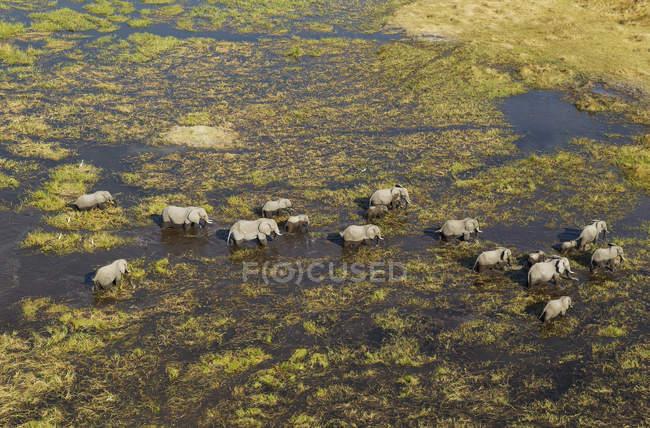 Manada de elefantes africanos de roaming no pântano de água doce, o Delta do Okavango, Botswana, África — Fotografia de Stock