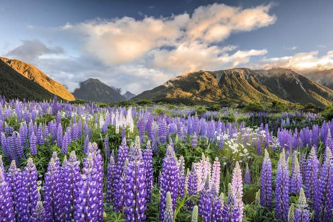 Lupines growing on alpine meadow of Craigieburn Range, Canterbury, South Island, New Zealand, Oceania — Stock Photo