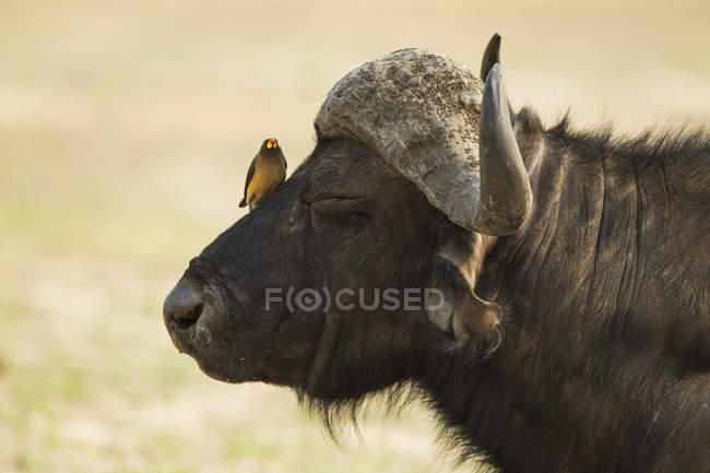 Side view of Yellow-billed oxpecker perched on Cape buffalo bull in Chobe National Park, Botswana, Africa — Foto stock