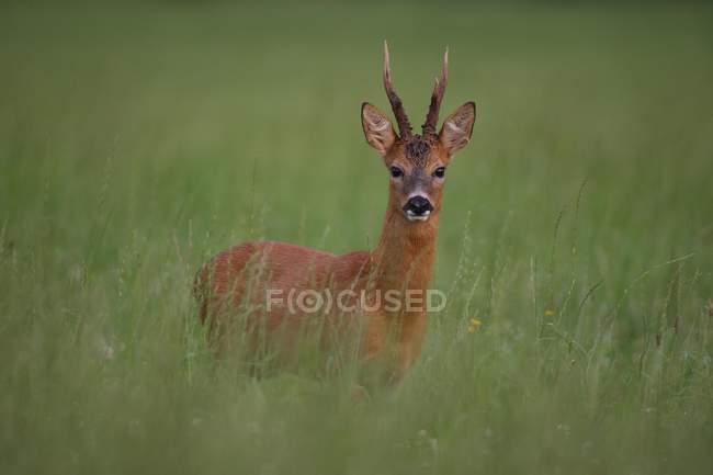 Козуль баку стоїть у високий зелений Луговий газон — стокове фото