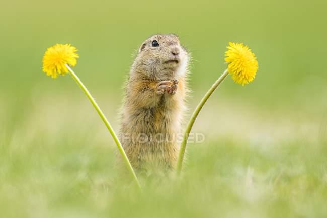 Scoiattolo a terra europea permanente di fiori di tarassaco in prato — Foto stock