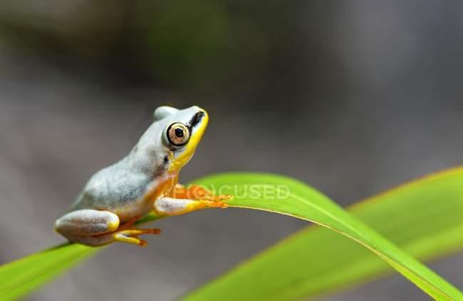 Rana a lamella posteriore blu sulla pianta in Madagascar, Africa — Foto stock