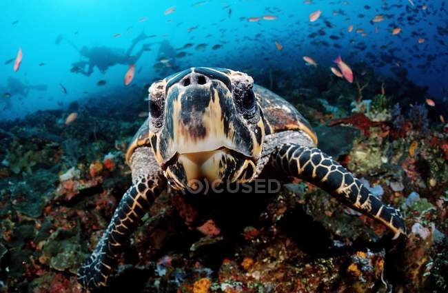 Curious hawksbill turtle swimming under water in Indonesia — стокове фото