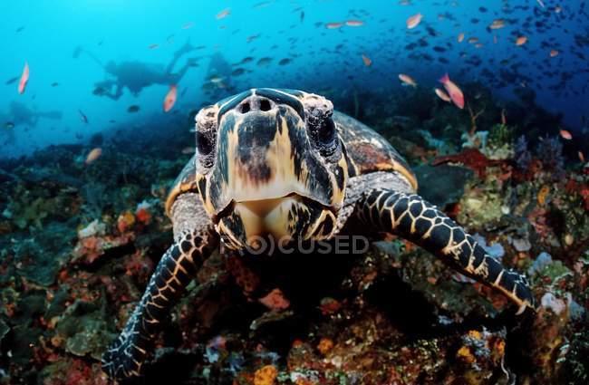Цікавий hawksbill черепаха, плавання під водою в Індонезії — стокове фото