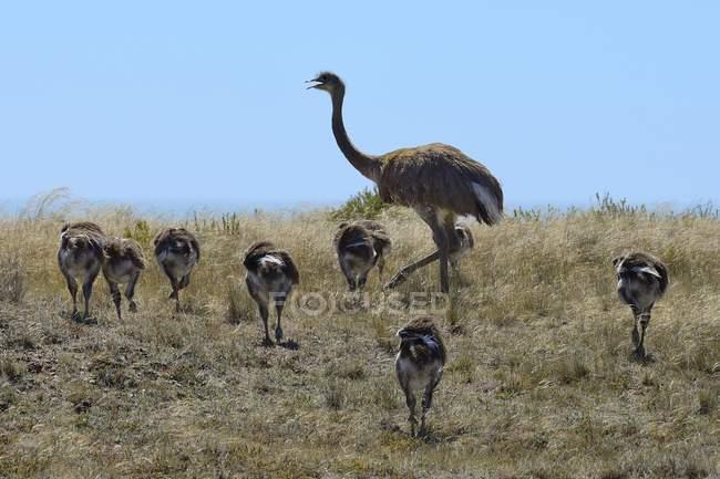 Nandu con pulcini a piedi attraverso la boscaglia, Argentina, Sud America — Foto stock