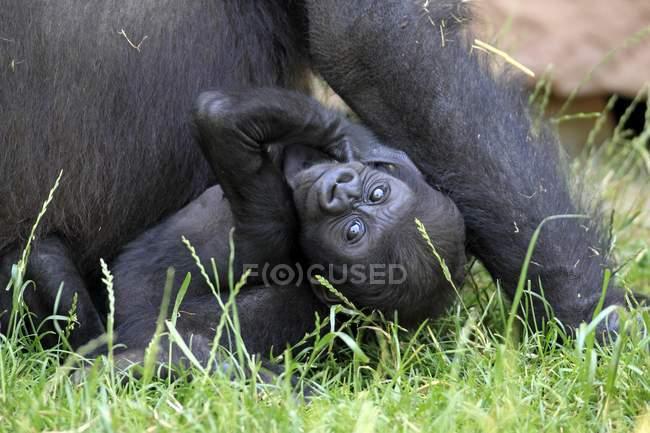 Western lowland gorilla baby on green grass, close-up — Foto stock