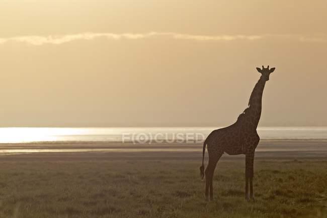 Giraffe стоячи ранок світло в Африці Національний парк озеро Маньяра, Танзанія, — стокове фото