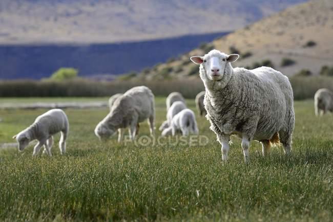 Gregge di pecore al pascolo vicino a Perito Moreno, Provincia di Santa Cruz, Patagonia, Argentina, Sud America — Foto stock