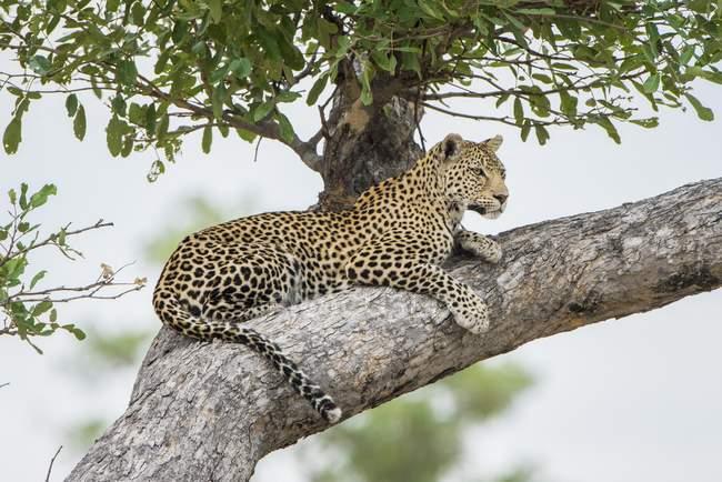 Leopard lying on tree lookout, Savuti, Chobe National Park, Chobe District, Botswana, Africa — стоковое фото