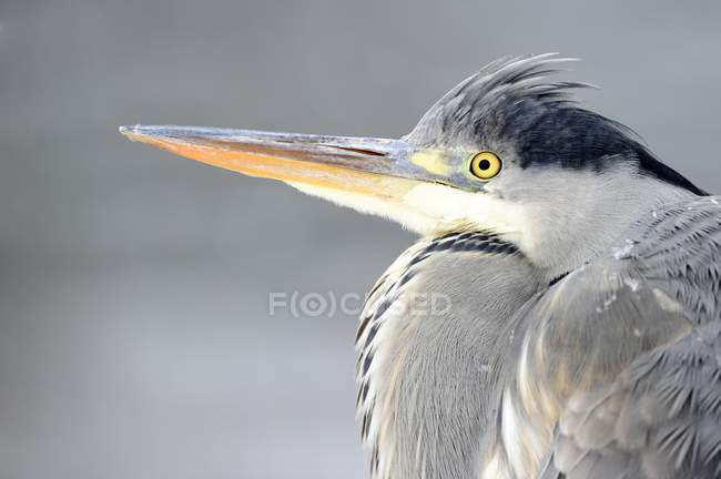 Grey heron portrait against gray background — Stock Photo