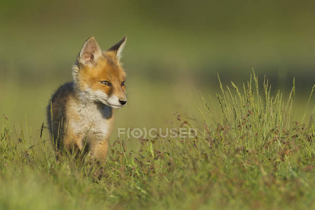 Filhote de raposa vermelha sentado em Prado — Fotografia de Stock