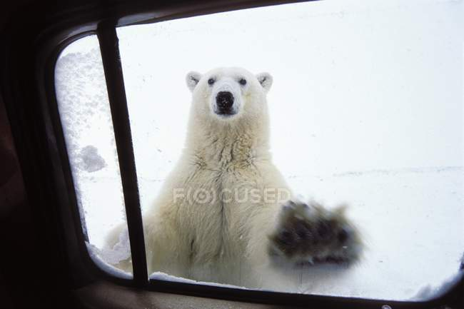 Полярный медведь, заглядывая в окна автомобиля, Черчилль, Канада — стоковое фото