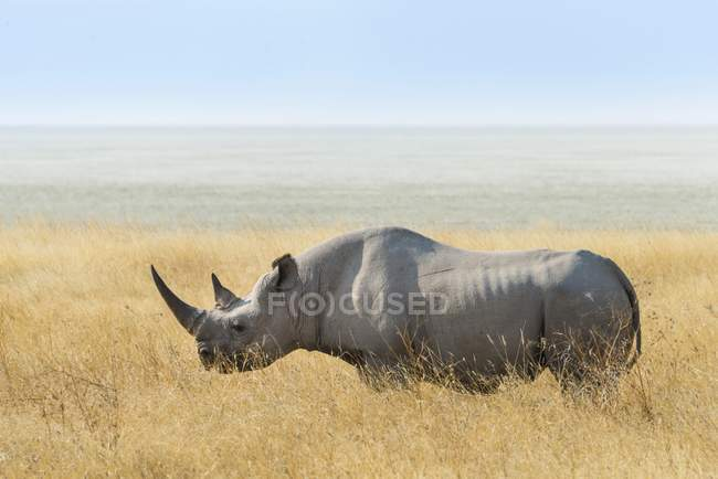 Black rhino grazing at edge of Etosha Pan, Etosha National Park, Namibia, Africa — стокове фото